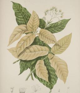 pisonia sylvestris